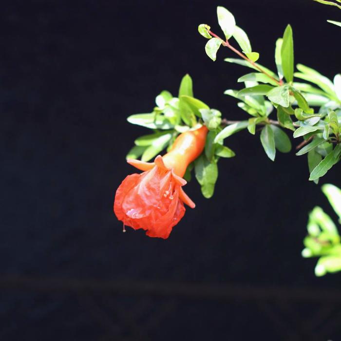 ザクロの花 花言葉「成熟した美しさ」