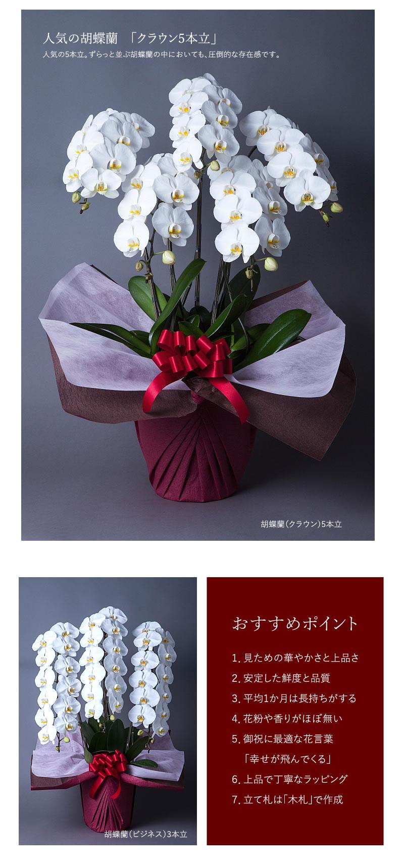 胡蝶蘭 お祝いのお花・贈りものはHANAIMOへ